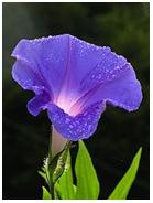 kecubung (morning glory)